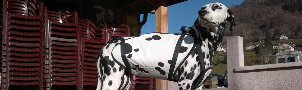 Dalmatien équipé d'une harnais parapente pour chien
